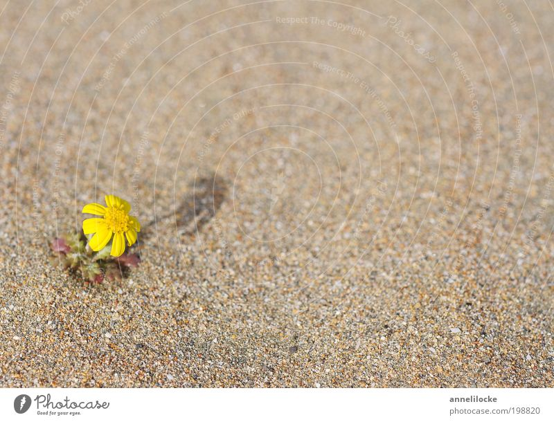 Nature Plant Flower Beach Loneliness Yellow Environment Landscape Blossom Sand Warmth Climate Growth Exceptional Hope Desert