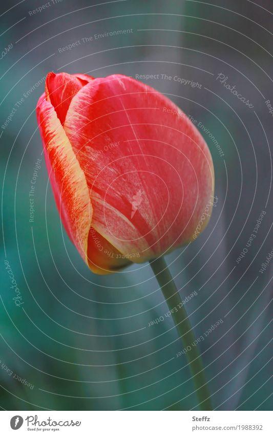 tulip season Tulip Tulip blossom red tulip Tulip bud flowering tulip elegance Elegant striking Flower Blossom red flower red blossom Spring flower Blossoming