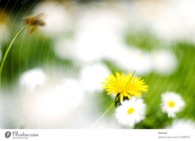 White spots Environment Nature Plant Spring Summer Beautiful weather Warmth Grass Blossom Foliage plant Wild plant Daisy Daisy Family Dandelion Garden Meadow