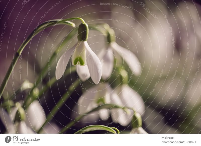 Snowdrops sound sound Elegant Style Nature Sunlight Spring Beautiful weather Plant Flower Leaf Blossom Wild plant Spring flowering plant Lily plants Calyx