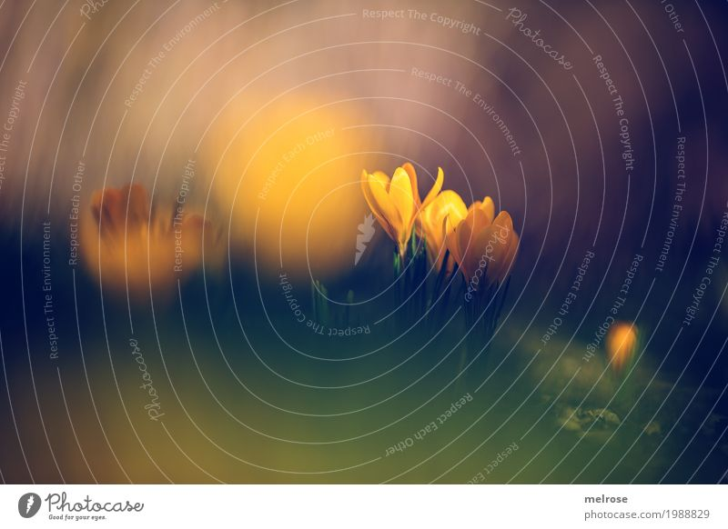 Yolk - Crocuses Elegant Style Valentine's Day Mother's Day Birthday Nature Earth Sun Spring Beautiful weather Plant Flower Grass Blossom Wild plant Bulb flowers