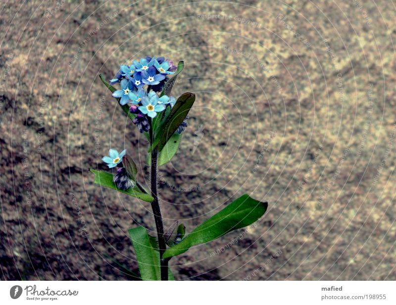 Don't you forget about me Garden Nature Plant Flower Leaf Blossom Stone Growth Blue Brown Yellow Gray Green White Loyalty Forget-me-not Colour photo