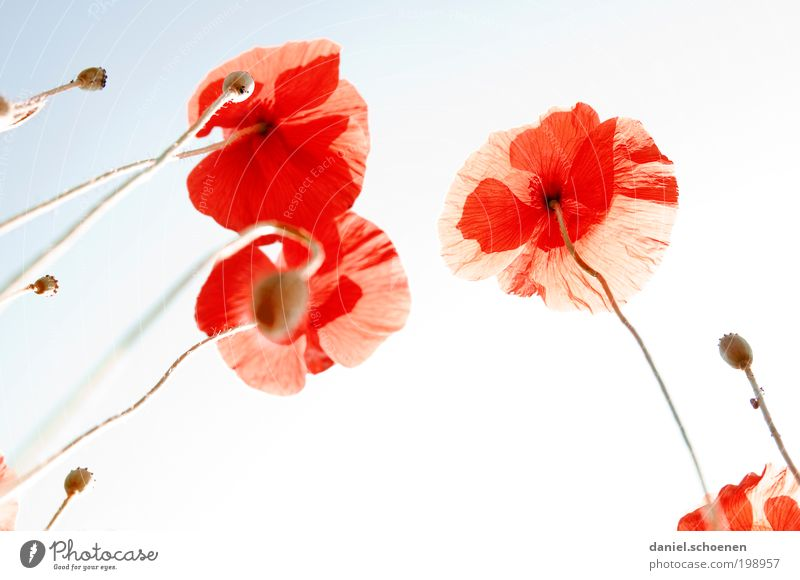 backlight poppy meadow Nature Plant Cloudless sky Sun Beautiful weather Flower Blue Red Poppy Poppy blossom Light Sunlight Sunbeam Back-light Worm's-eye view