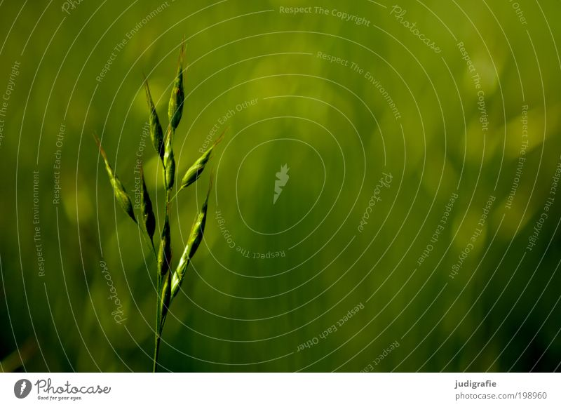 Nature Green Plant Summer Meadow Grass Park Environment Fresh Growth Soft Thin Uniqueness Natural Fragrance