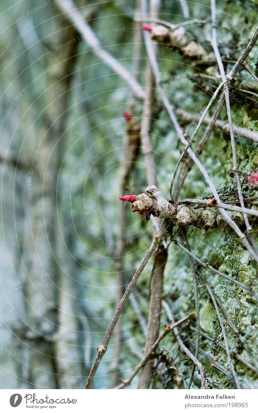 Nature Green Plant Red Blossom Garden Wall (barrier) Park Environment Esthetic Bushes Net Moss Bud Tendril Cross