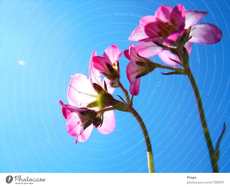 Pink - Blue Nature Plant Cloudless sky Spring Flower Blossom Saxifrage plants Garden Blossoming Illuminate Small Spring fever Transience Colour photo