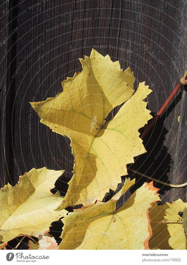 Leaf Yellow Autumn Wood Vine Autumnal Vine leaf