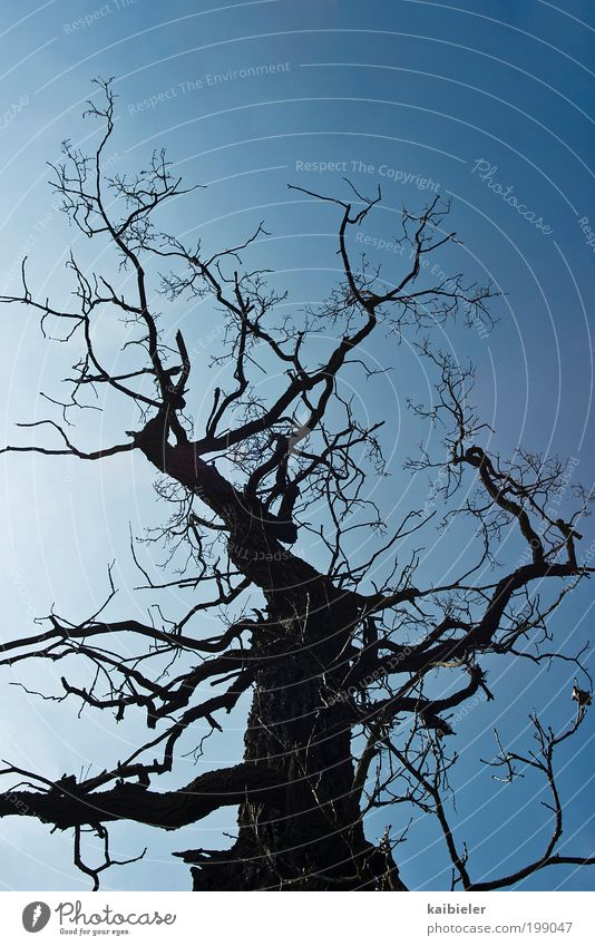 ramified Environment Nature Plant Sky Cloudless sky Tree Old Threat Dark Thin Blue Black Timidity Transience Branched Twig Tree trunk Tree bark Towering Bleak