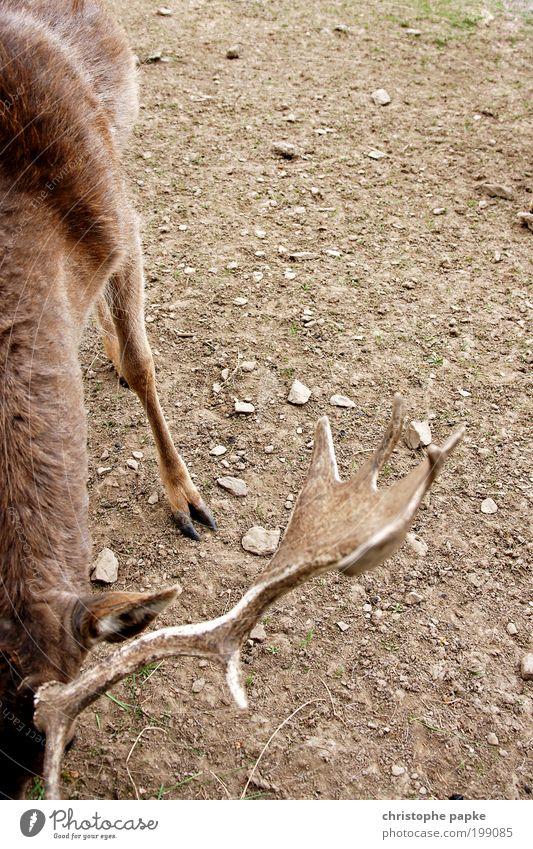 steadfast Farm animal Wild animal 1 Animal Competition Deer Fallow deer Antlers Pelt Red deer Hoof Legs Dry Ground Vension Feeding Unwavering Colour photo