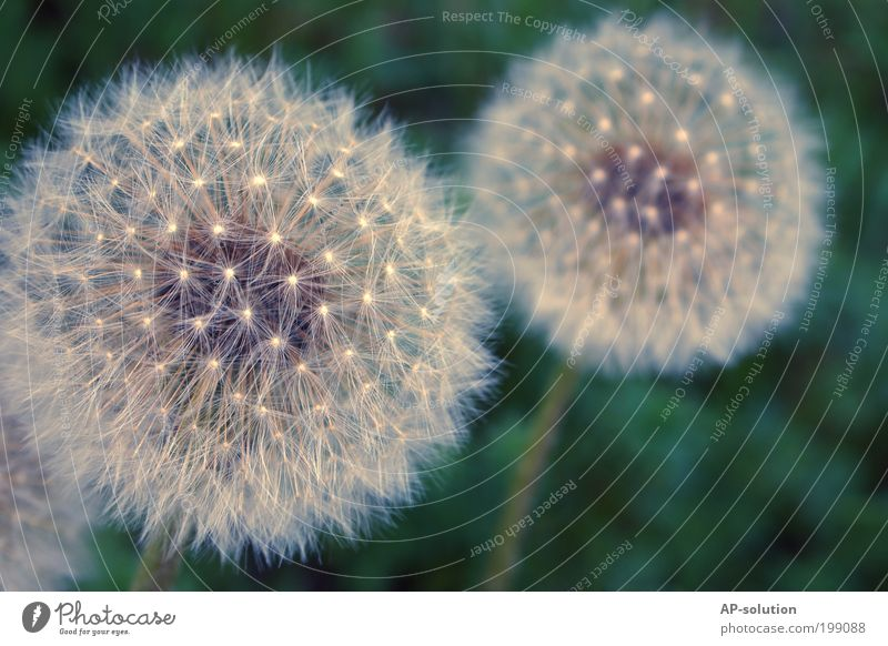 dandelion Nature Plant Spring Flower Blossom Dandelion Meadow Esthetic Thin Elegant Free Infinity Beautiful Uniqueness Natural Positive Blue Violet White