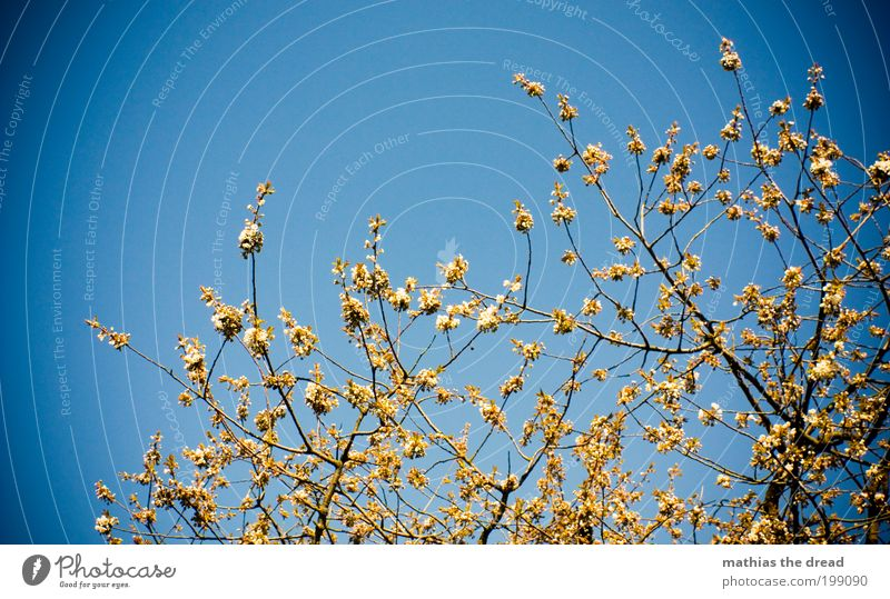 buds Environment Nature Landscape Plant Cloudless sky Spring Beautiful weather Tree Blossom Foliage plant Park Blossoming Growth Fragrance Blue Climate Life