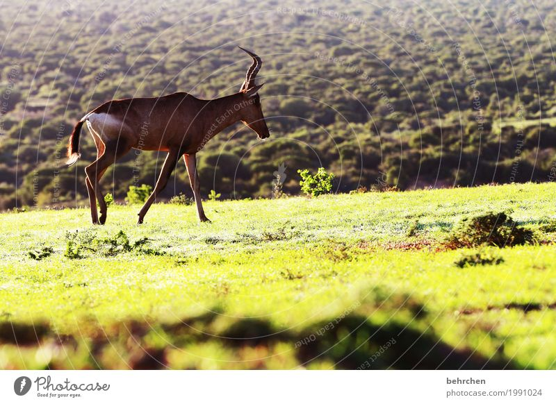hardest Vacation & Travel Tourism Trip Adventure Far-off places Freedom Safari Nature Landscape Plant Animal Grass Bushes South Africa Wild animal hartebeest