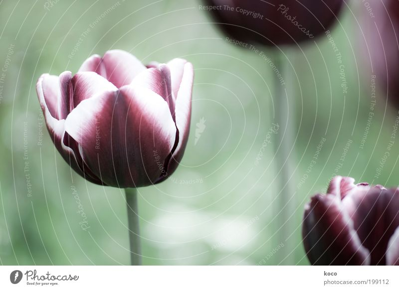 In my garden Beautiful Nature Plant Spring Flower Tulip Blossom Garden Blossoming Growth Esthetic Fragrance Green Black Violet Subdued colour Exterior shot