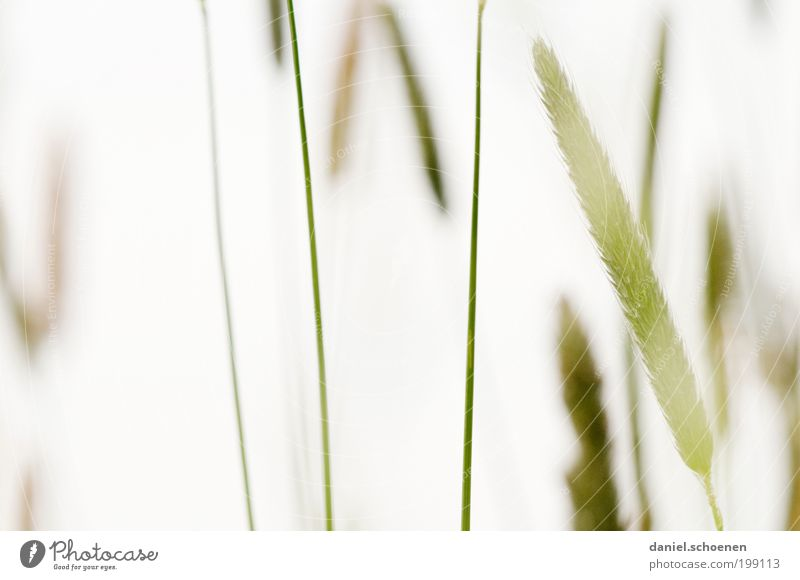 White Green Plant Meadow Grass Bright Macro (Extreme close-up)