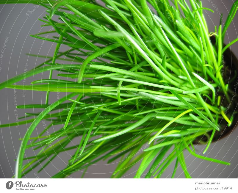 Green Healthy Herbs and spices Pot Chives Leek