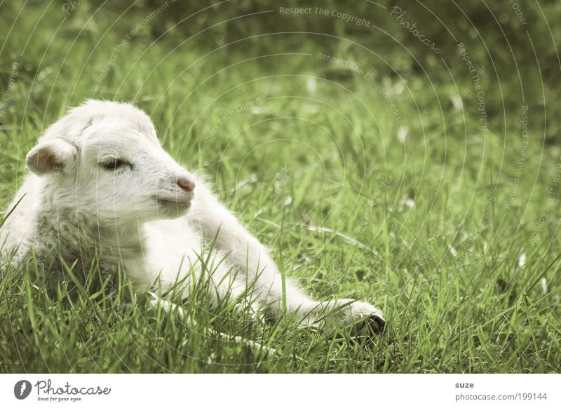 Nature Green White Animal Baby animal Meadow Grass Small Lie Dream Authentic Cute Animalistic Animal face Sheep Farm animal