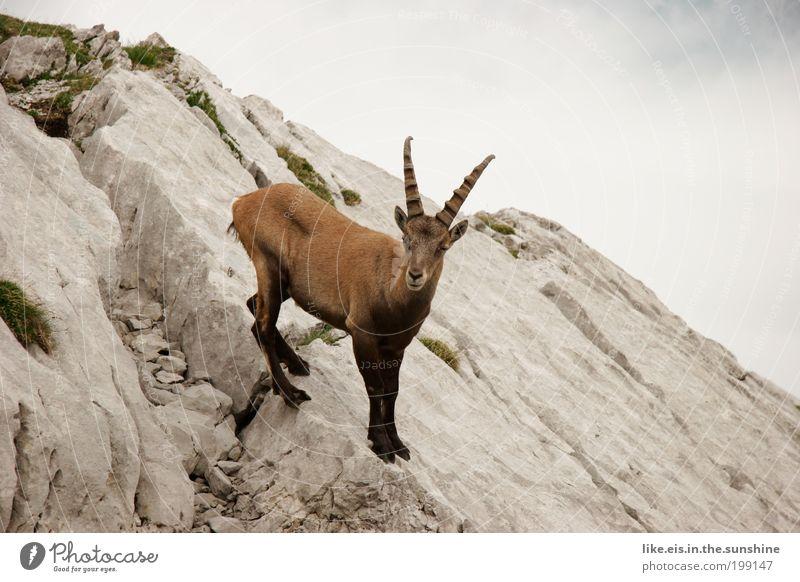 Alpine ge-blöööööök Clouds Summer Drought Rock Alps Mountain Capricorn Antlers 1 Animal Observe Esthetic Free Near Curiosity Brown Gray Green Timidity