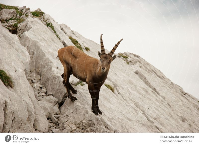 Green Summer Clouds Animal Mountain Gray Brown Rock Free Esthetic Observe Curiosity Alps Near Switzerland Antlers