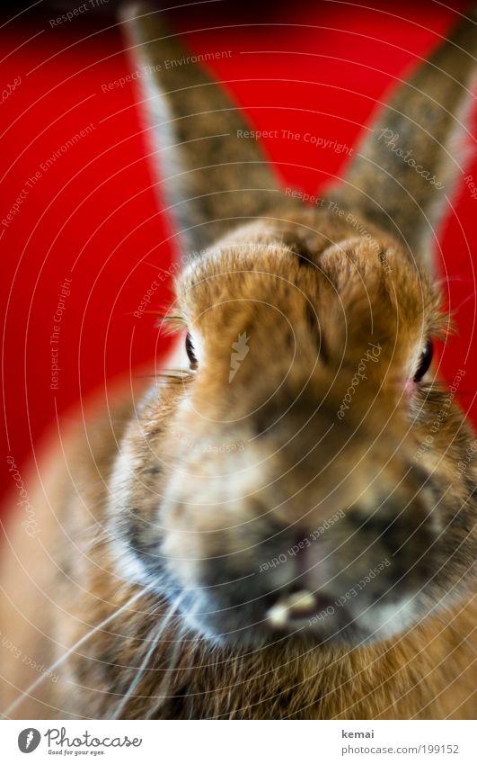 Red Animal Eyes Brown Head Sit Observe Communicate Cute Nose Ear Pelt Set of teeth Animal face Pet Hare & Rabbit & Bunny