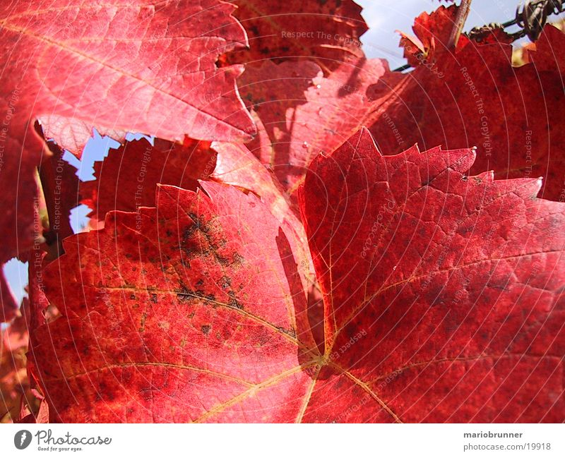 Red Leaf Autumn Vine Vineyard Vine leaf