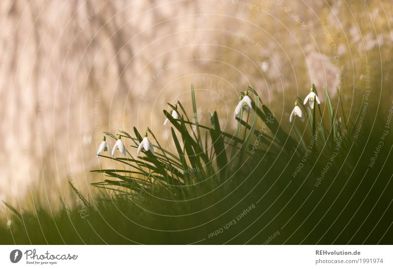 Snowdrops in front of concrete Environment Nature Spring Flower Grass Wild plant Concrete Blossoming Growth Exceptional Gray Green Colour photo Subdued colour
