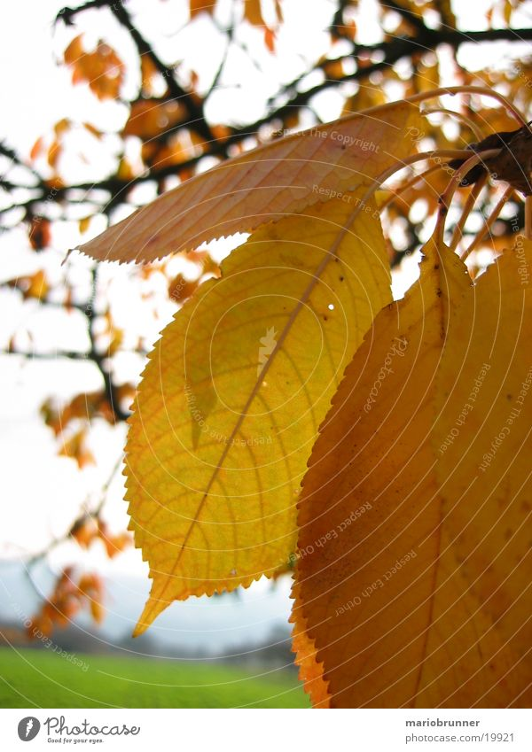Leaf Yellow Autumn To fall Tree Limp Autumnal Cherry tree