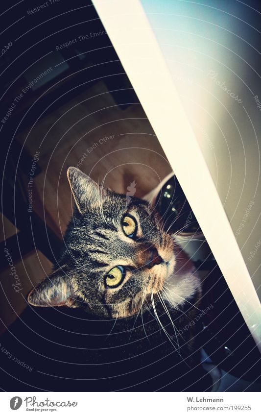 The cat has a face too! Fish Overweight Chair Camera Facial hair Circus Zoo Pelt Hair Animal Pet Cat Animal face Paw 1 To feed Feeding To enjoy Authentic