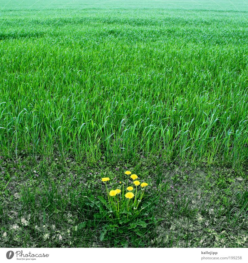 Nature Green Plant Yellow Meadow Grass Landscape Power Field Environment Earth Fresh Growth Corner Dandelion Grassland