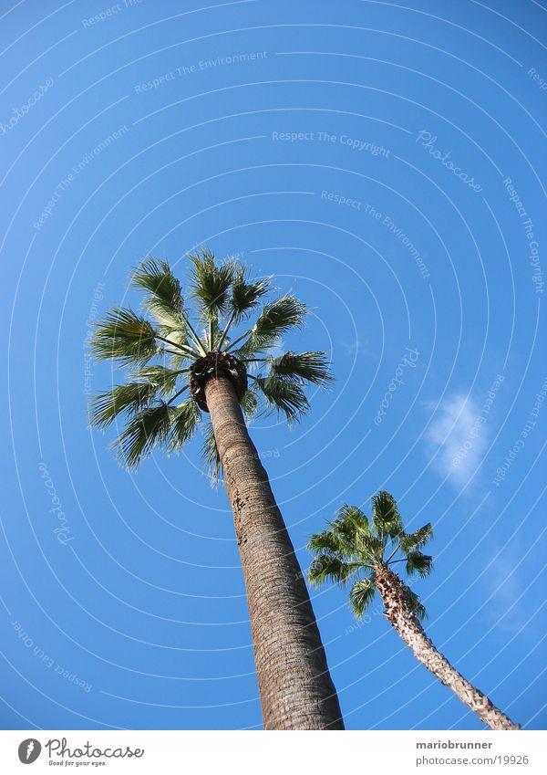 palm Palm tree California Beach Summer Physics Sun Sky Blue Warmth
