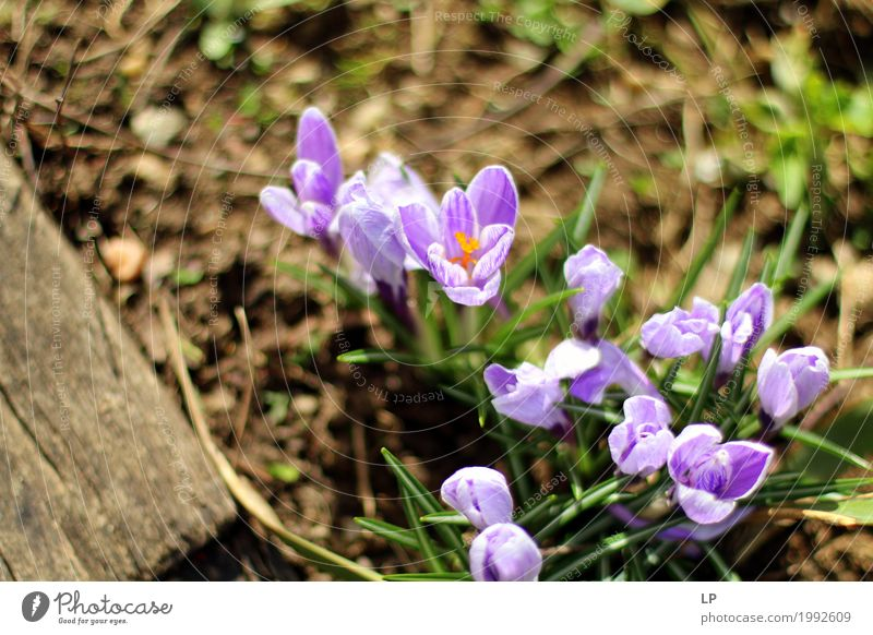 spring flowers in the sun Environment Nature Plant Elements Spring Flower Beautiful Lila Krokusse (Crocus) Design Illustration Background picture Image Card