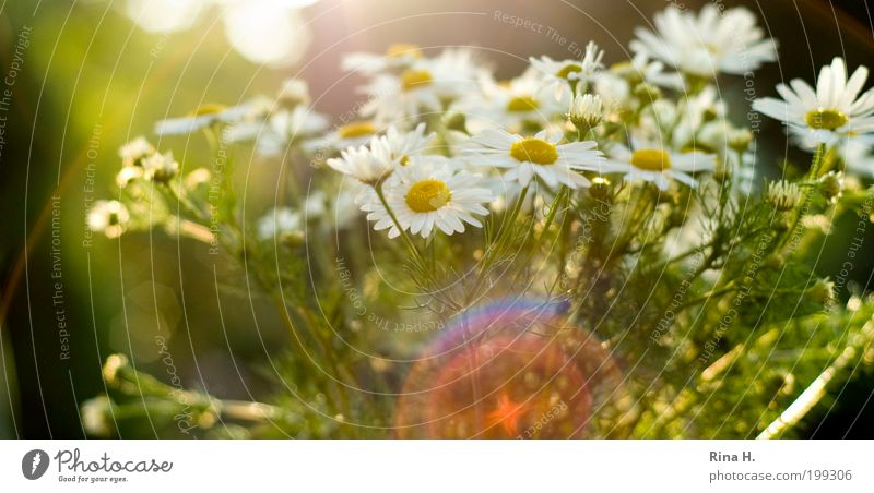 Summer Reflections Nature Plant Sun Flower Chamomile Blossoming Authentic Beautiful Natural Yellow Green White Moody Happy Contentment Joie de vivre (Vitality)