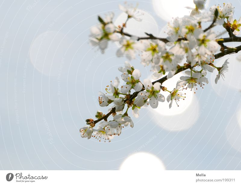 Japanese Dreams Environment Nature Plant Spring Tree Blossom Branch Cherry tree Cherry blossom Blossoming Glittering Growth Fresh Bright Natural Blue Moody