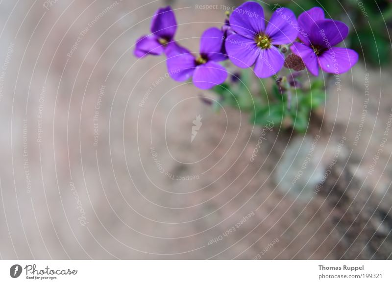 Nature Flower Green Plant Blossom Spring Garden Stone Violet Foliage plant Shallow depth of field