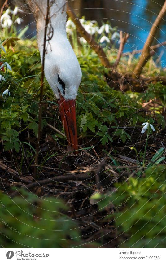 stork's nest Environment Nature Plant Animal Spring Beautiful weather Bushes Wild plant Snowdrop Undergrowth Garden Park Wild animal Bird Stork White Stork Beak