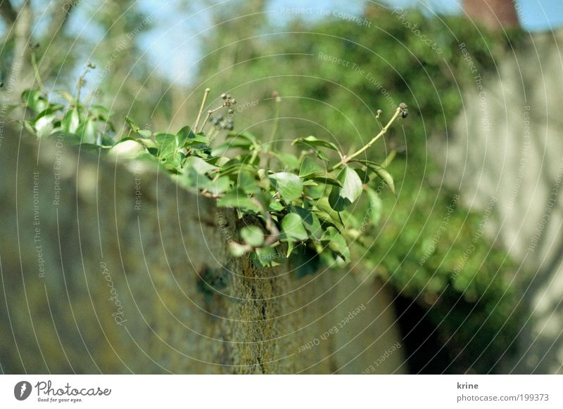 Nature Beautiful Plant Summer Leaf Spring Garden Wall (barrier) Esthetic Growth Authentic Blossoming Upward Beautiful weather Direction Ivy