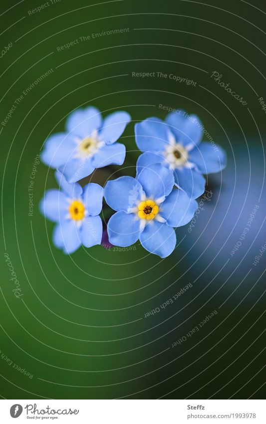 Together in spring Nature Plant Spring Flower Blossom Wild plant Forget-me-not Garden plants Spring flower Blossoming Friendliness New Beautiful Blue Green