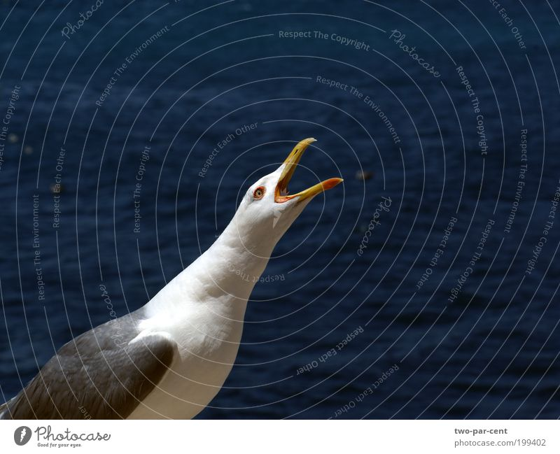scream Bird Seagull Scream Cry Aggression Colour photo Exterior shot Close-up Deserted Copy Space right Isolated Image Animal portrait Upward Day