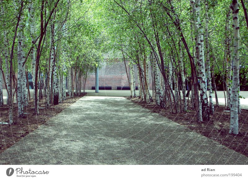 Urban Jungle II Environment Nature Tree Foliage plant Birch tree Birch wood Birch avenue Park Town Deserted Places Facade Street Lanes & trails Fragrance