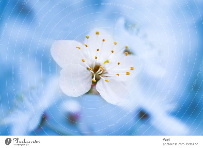 Spring blossoming white spring flowers on a plum tree a royalty spring blossoming white spring flowers sky nature plant blue white tree landscape flower leaf environment yellow mightylinksfo