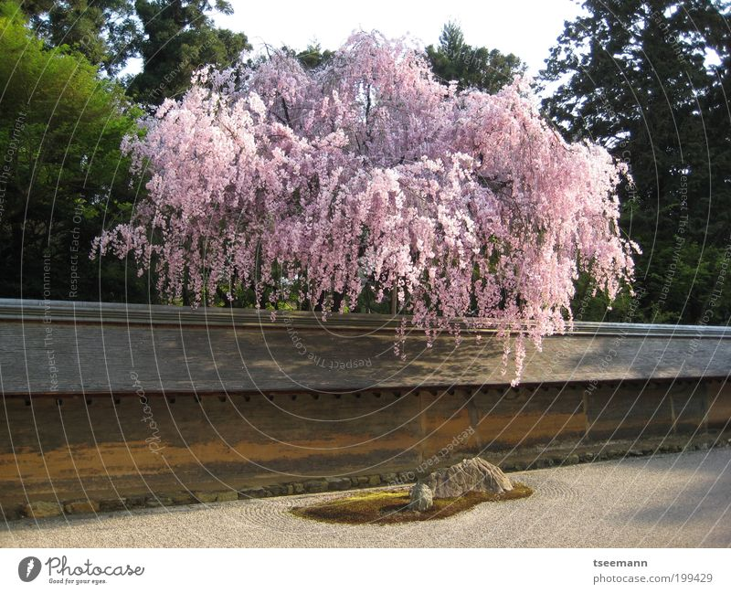 Plant Tree Relaxation Wall (building) Blossom Spring Wall (barrier) Garden Stone Contentment Arrangement Earth Blossoming Culture Serene Well-being