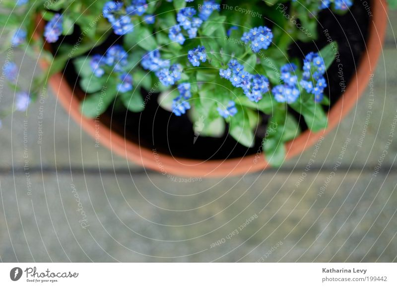 FORGET-ME-NOT Environment Plant Spring Summer Flower Flowerpot Violet Green Authentic Simple Beautiful Natural Contentment Spring fever Anticipation Hope