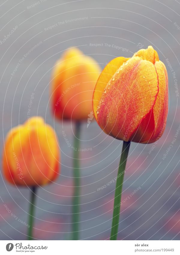 Green Beautiful Red Plant Flower Yellow Gray Spring Happy Blossom Happiness Kitsch Blossoming Fragrance Tulip Dew