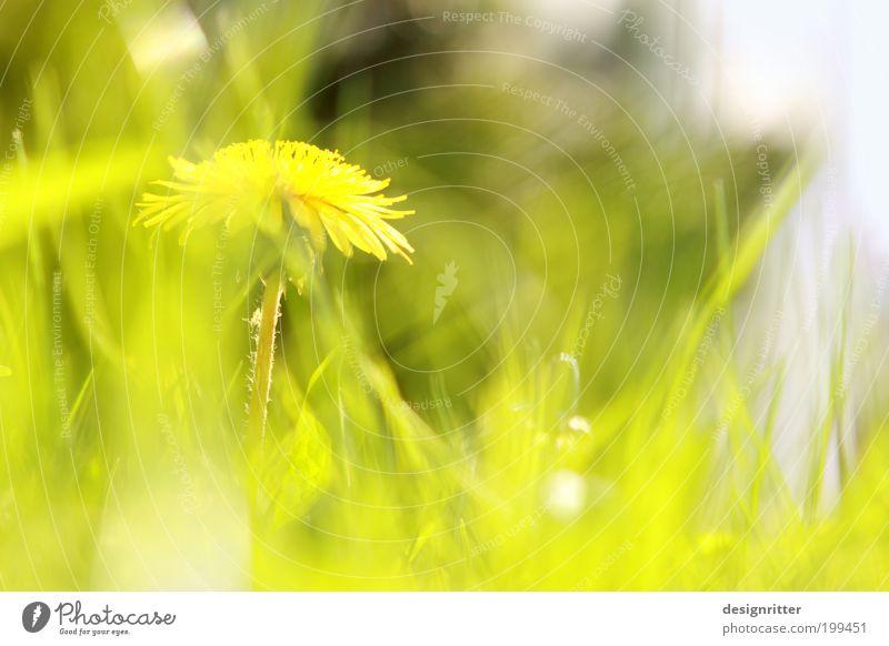 Sunny weekend ... Spring Summer Climate Weather Beautiful weather Warmth Flower Grass Meadow Dandelion Garden Brash Bright Wild Joie de vivre (Vitality)