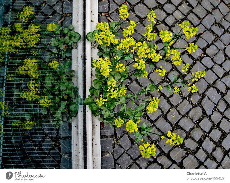 Plant Yellow Life Window Gray Stone Glass Simple Natural Cobblestones Paving stone Endurance Survive Defiant Revolt Niche
