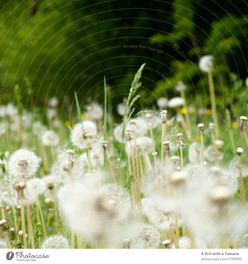 Many wishes free .... Environment Nature Landscape Plant Spring Flower Grass Dandelion Meadow Fresh Beautiful Natural Green White Propagation Dandelion field
