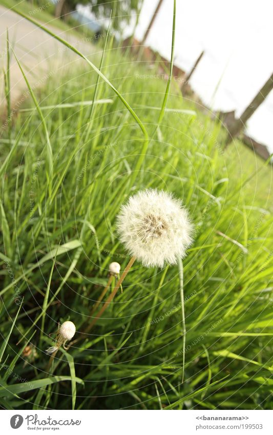 A wish free ... Landscape Flower Blossom Foliage plant Desire Dandelion Meadow Knapweed Spring Nature Green Grass Grassland Grass meadow Tuft of grass Footpath