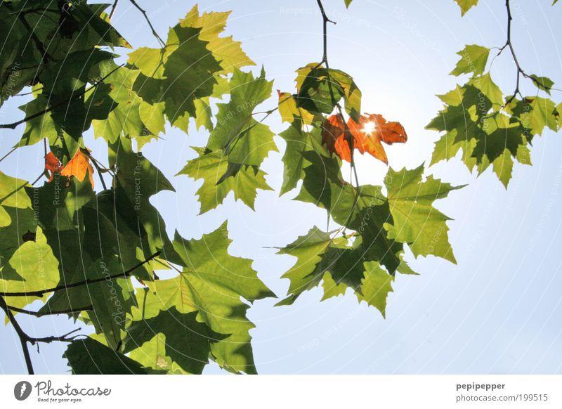 Tree Sun Green Blue Summer Leaf Growth Twig Leaf canopy X-rayed Skyward Leaf shade