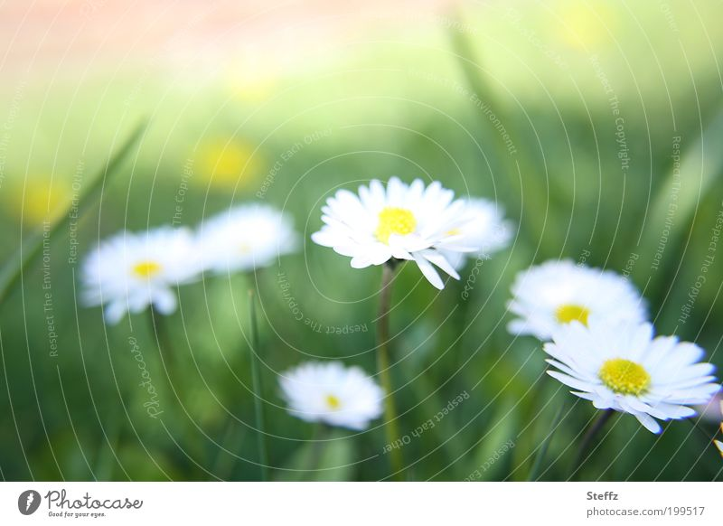 Beautiful Green Colour White Flower Environment Blossom Spring Meadow Natural Fresh Blossoming Simple Blossom leave Daisy Spring fever