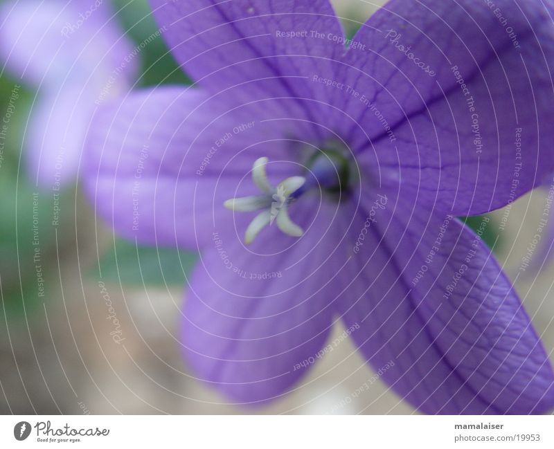 Purple Flower Blossom Violet Nature Detail Macro (Extreme close-up)