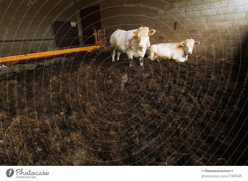 White Animal Lie Pair of animals Dirty Wait Feces Cow Captured Cattle breeding Farm animal Bull Barn Scandal Livestock breeding